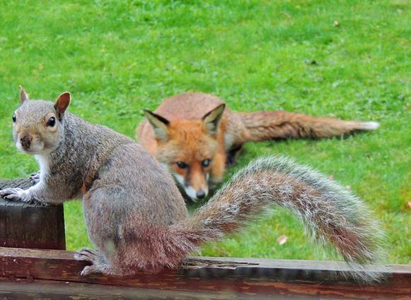 狐狸��h����j˞j���_英松鼠被狐狸追踪敲窗求助 呆萌可爱