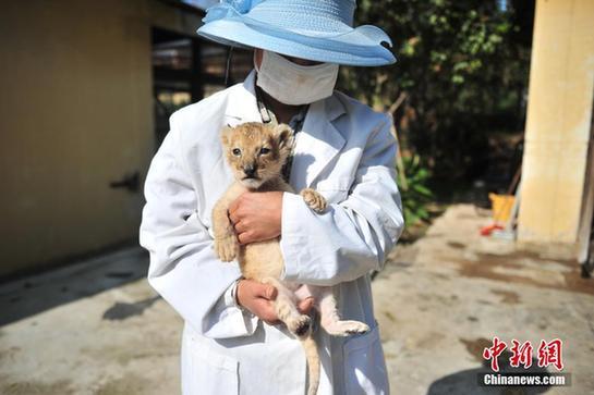 3月16日,饲养员怀里的小狮子。近期,云南野生动物园出生了一只可爱的小狮子,由于年纪太小,只能住在育幼中心的保温箱里,由饲养员24小时看护。目前,这只小狮子身体情况良好,天气好的时候饲养员还会带着它出去晒太阳。中新社记者 刘冉阳 摄