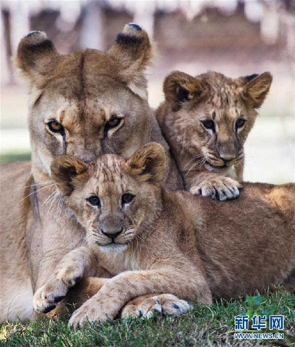 智利首都圣地亚哥布因动物园:新生小狮子