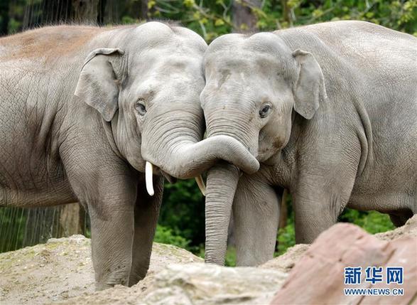 这是5月2日在德国海德堡动物园拍摄的两头亚洲象. 新华社/欧新