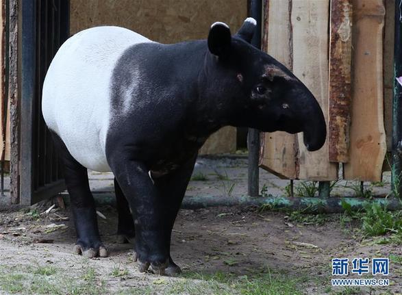 短耳朵长鼻子 波兰动物园的马来貘