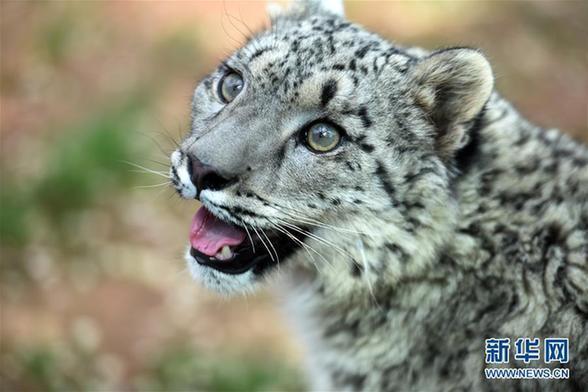 6月10日,小雪豹在西宁野生动物园雪豹馆内活动。   当日,西宁野生动物园成功繁育的雌性雪豹迎来一周岁生日。据悉,这只雪豹身长80厘米,身高48厘米,体重37斤,是国内唯一现存的由人工繁育成活的雪豹,目前已顺利度过危险期。   新华社记者 张宏祥摄