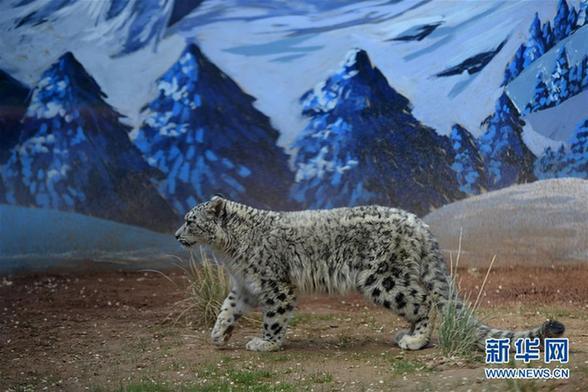 6月10日,小雪豹在西宁野生动物园雪豹馆内活动.
