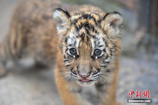 豹 豹子 壁纸 动物 虎 老虎 桌面 545_363