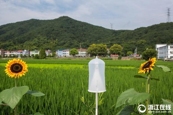 近日,在萧山区戴村镇南三村的水稻病虫害省级绿色防控示范区里,出现