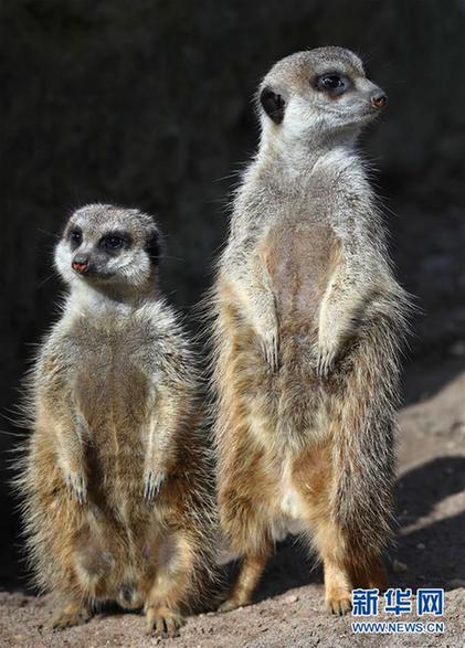 这是2017年4月5日在荷兰雷嫩市欧维汉兹动物园拍摄的两只狐獴.