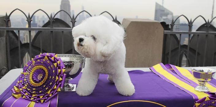 """(国际)(4)最佳秀犬""""登顶""""纽约洛克菲勒中心"""