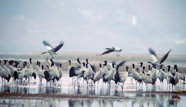 (图文互动)10万余只候鸟在贵州草海度过冬天陆续北迁