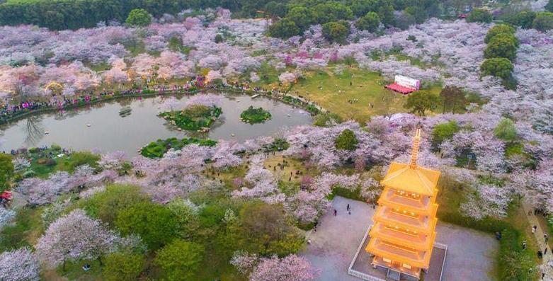 (春季美丽生态)(6)武汉:樱花缤纷醉游人