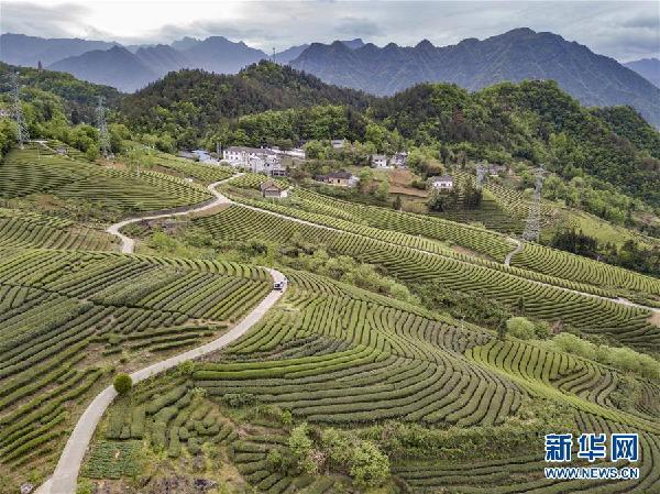 (春季美丽生态)(1)湖北五峰:茶乡生态美