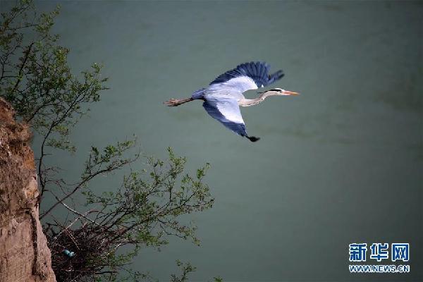 #(环境)(1)山西平陆:峭壁上飞舞的精灵