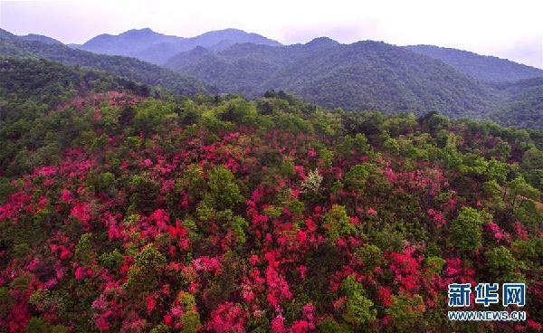 铁冲乡铁冲村陈家寨林场漫山遍野盛开的映山红(4月14日无人机拍摄).