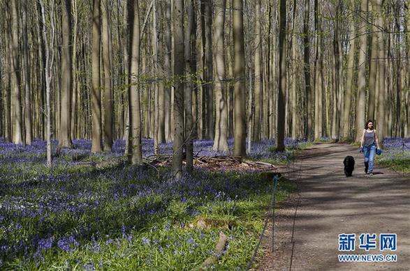 (国际)(1)紫花森林