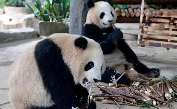 """(社会)(1)双胞胎大熊猫""""思念""""""""思筠筠""""厦门安家"""