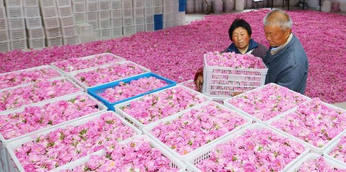 #(经济)(4)江苏海安:玫瑰香溢致富路