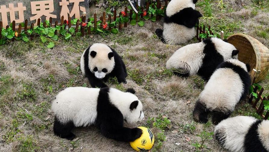 """(社会)(2)熊猫""""足球赛"""" 助威世界杯"""