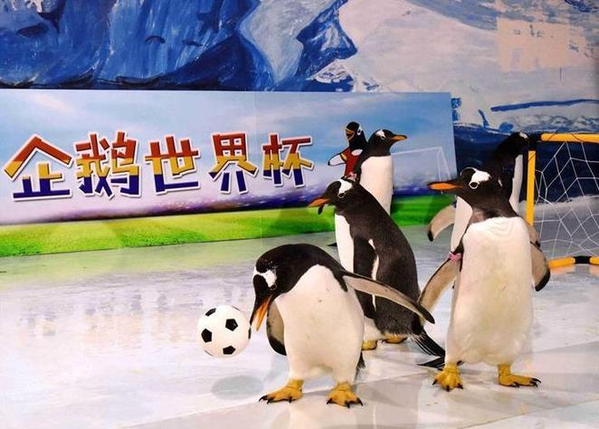 """(社会)(2)企鹅也踢""""世界杯"""""""