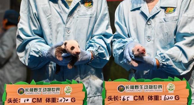 """(社会)(1)广州:华南大熊猫基地喜迎""""双宝""""诞生"""
