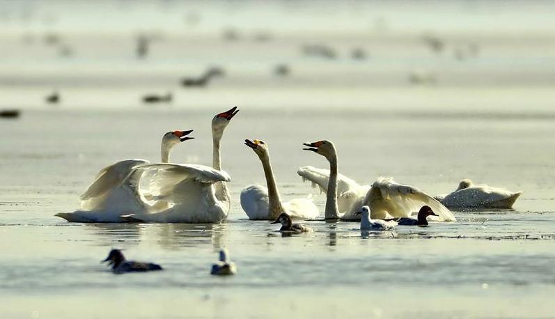 (环境)(3)河北坝上 天鹅起舞
