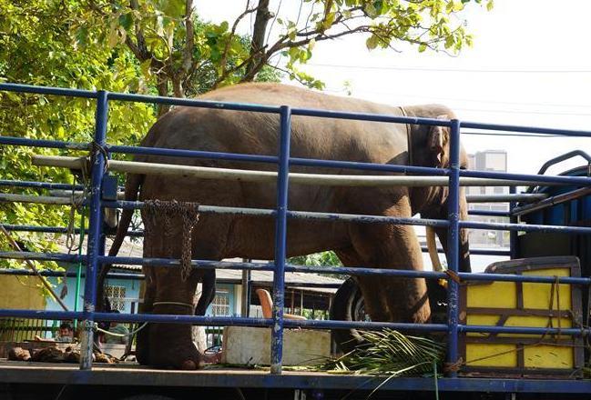 """(国际·图文互动)(1)探访科伦坡""""纳瓦姆月圆节""""游行大象营地"""