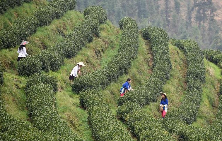 (经济)(4)贵州春茶陆续开采