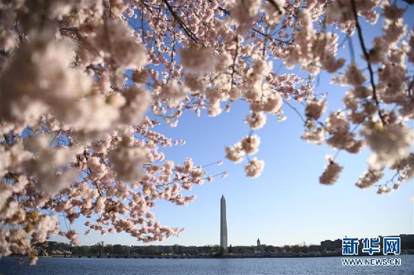 (国际)(1)华盛顿樱花盛开