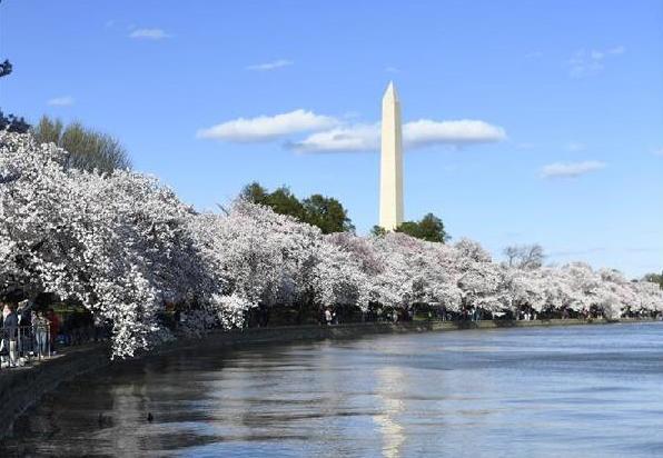 (国际)(5)华盛顿樱花盛开