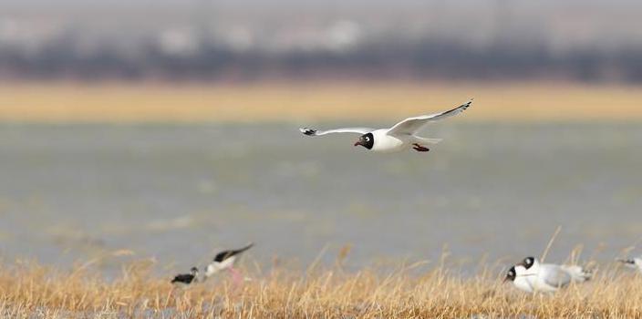 (环境)(1)大批遗鸥重返鄂尔多斯湿地