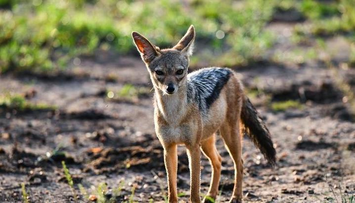 (国际)(12)肯尼亚马赛马拉国家保护区掠影
