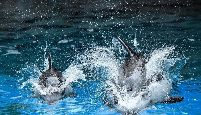 (社會)(5)珠海長隆海洋王國三頭新生太平洋白邊海豚寶寶首次亮相