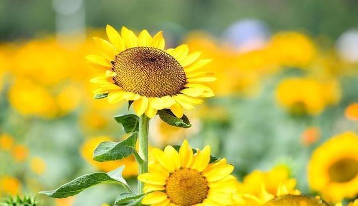 (环境)(4)葵花盛开逐秋阳