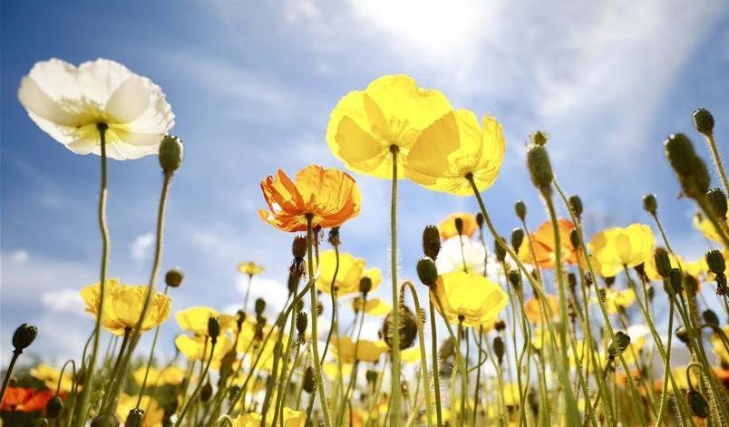 (国际)(1)澳大利亚最大花展在堪培拉闭幕