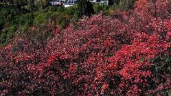 (環境)(1)紅葉漫山秋意濃