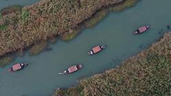 (環境)(2)西溪濕地蘆花白