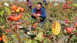 (經濟)(3)河北泊頭:盆栽果樹富農家
