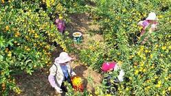 (經濟)(2)廣西鹿寨:小柑桔撐起脫貧致富大產業