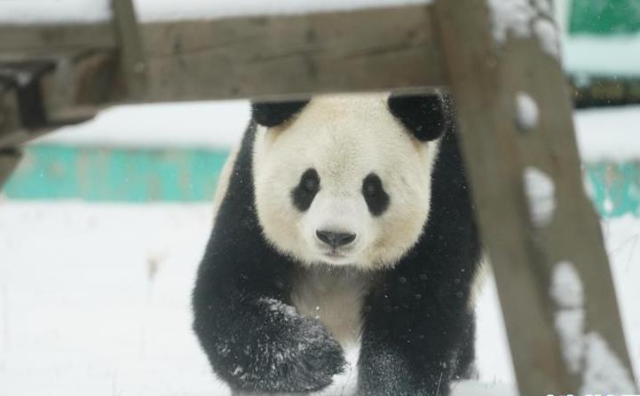"""(社会)(6)大熊猫享受""""雪季"""""""