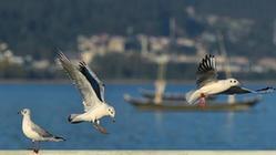 (环境)(4)云南昆明:红嘴鸥迁徙过冬