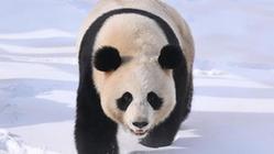 """(社会)(2)大熊猫雪后""""撒欢"""""""