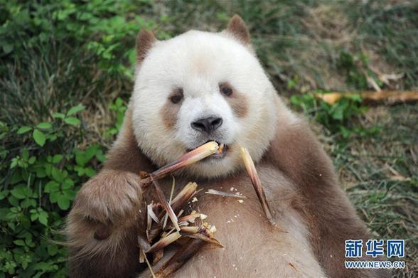 """(图文互动)(1)全球唯一圈养棕色大熊猫""""七仔""""被终身认养"""