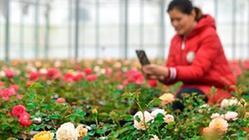 (经济)河北肥乡:花卉苗木助力乡村振兴
