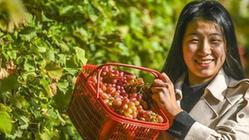 (经济)(2)河北香河:错季葡萄效益好