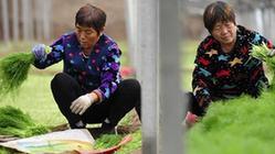 (經濟)(2)河北海興:初冬茴香俏