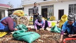(經濟)(1)廣西凌云:低產油茶改造助農脫貧