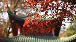 (环境)(2)麓山枫叶红