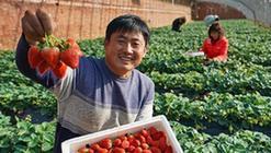 """(经济)(3)河北抚宁:小草莓成农民冬季增收""""甜心果"""""""