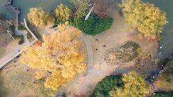 (環境)(1)上海:千年銀杏盛裝迎冬