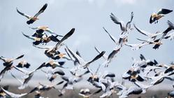 (环境)(1)贵州草海迎来大批越冬候鸟