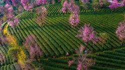 (美丽中国)(1)无量山樱花谷:茶园泛绿 樱花似霞