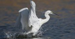 (新华网)(1)白鹭的舞蹈